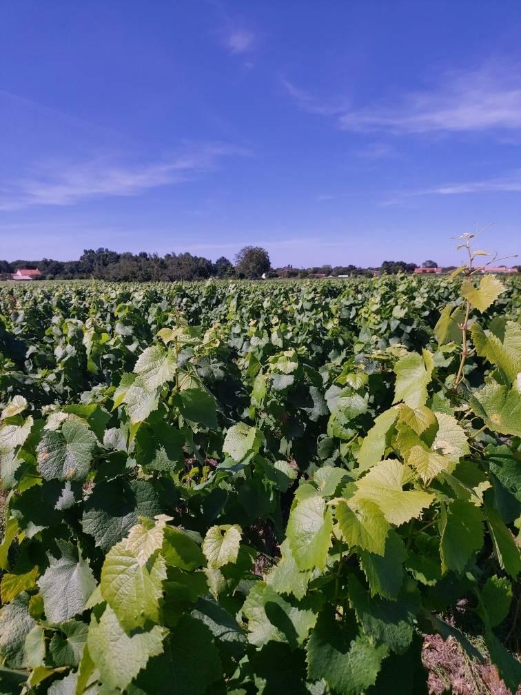 viticulteur à La Haye Fouassière